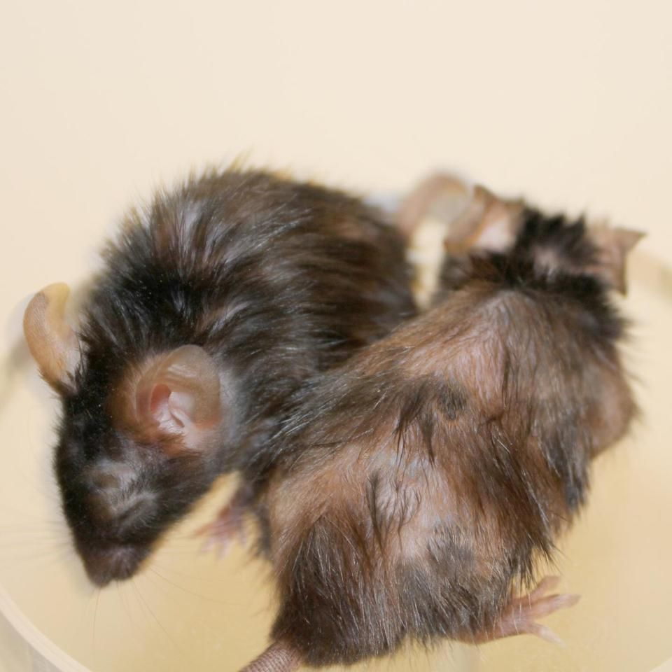 These two genetically engineered fast-aging mice show the effectiveness of the peptide at manifesting hair regrowth with the mouse on the left receiving the treatment and the mouse on the right going untreated