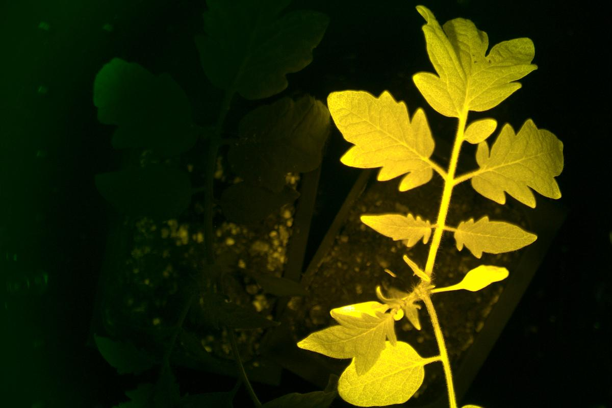 An InnerTomato plant fluoresces yellow, alongside a conventional plant
