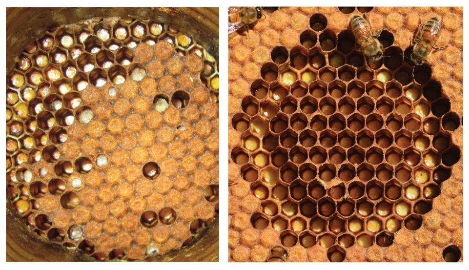 "The difference is clear between ""unhygienic"" bee colonies (left) and hygienic ones (right)"
