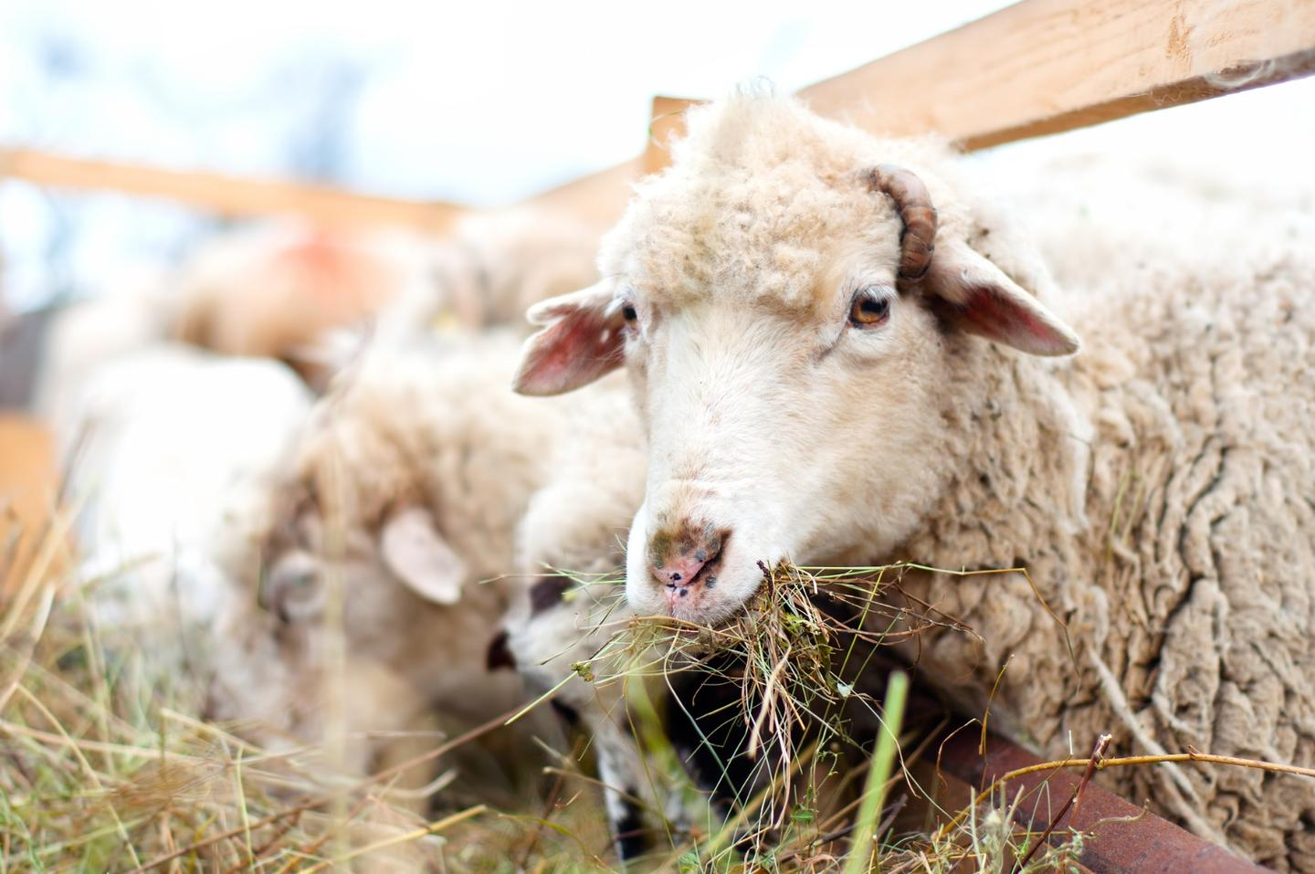 Researchers have investigated the gut microbes of sheep to find ways to reduce agricultural methane emissions