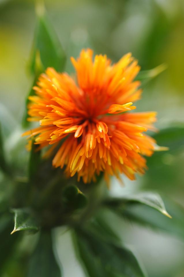 """The """"super high"""" oleic acid safflower developed by the CSIRO"""