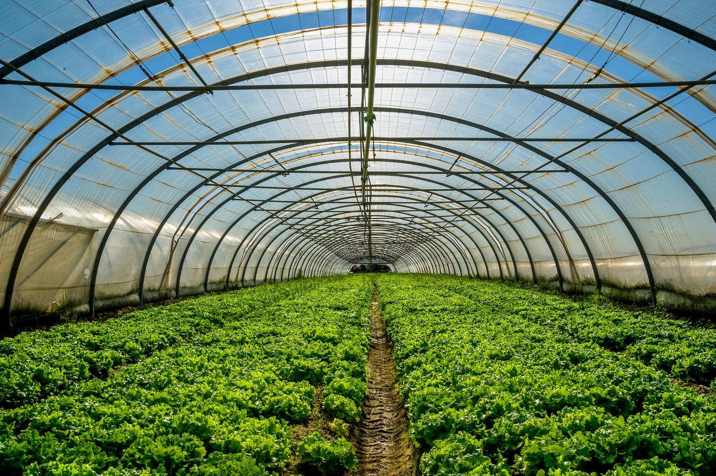A new study has found that crops can grow in greenhouses with built-in transparent solar cells