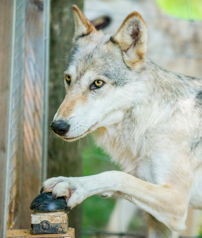 The study included both wolves and domestic dogs, all of which were similarly raised in packs