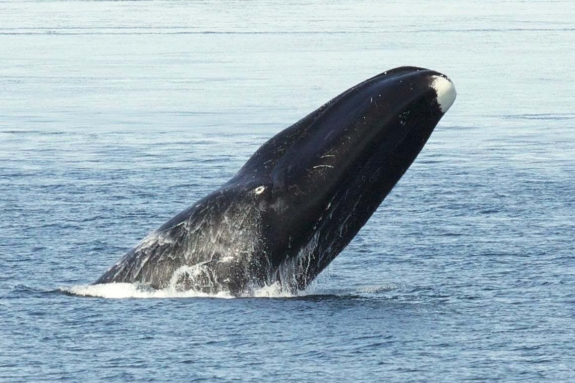 The study indicated that bowhead whales can live up to 268 years