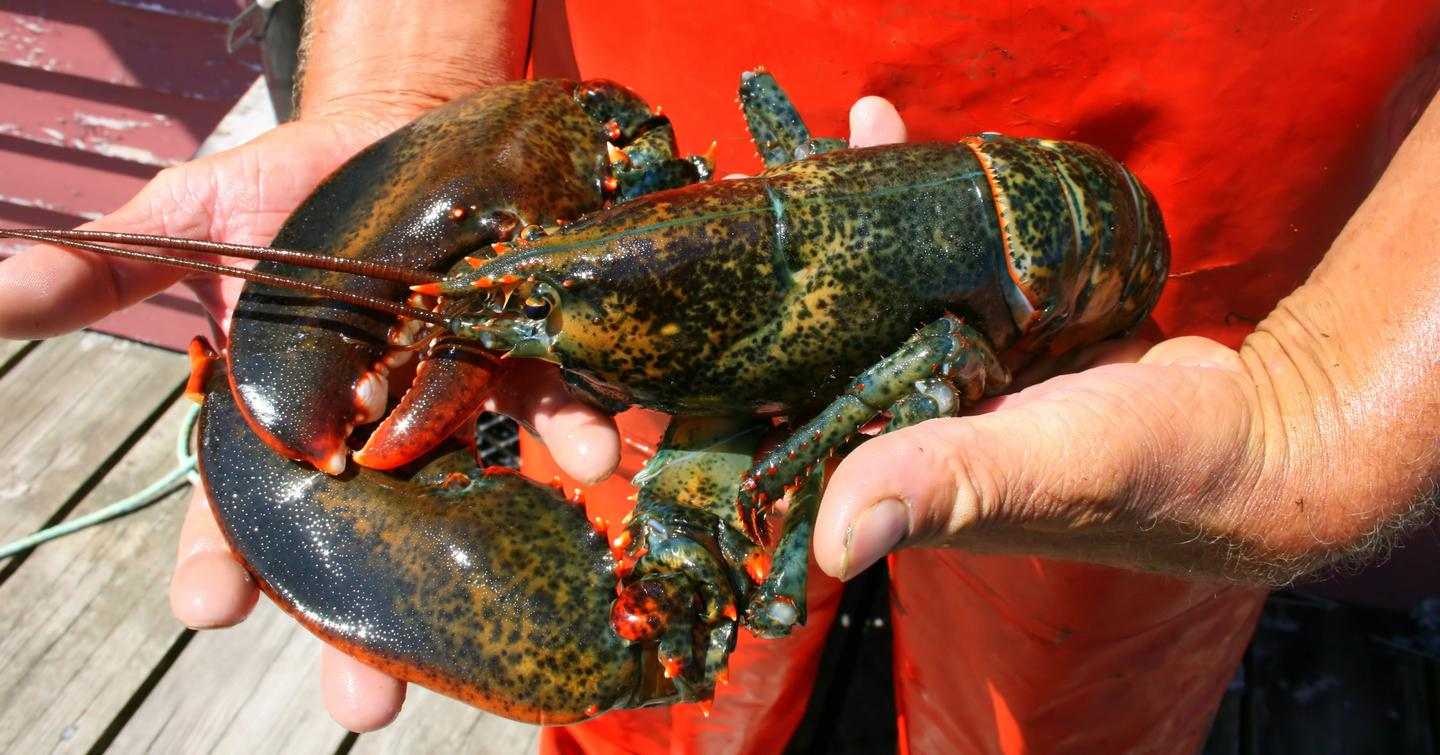 DNA can help determine the age of lobsters so fisheries can be better managed