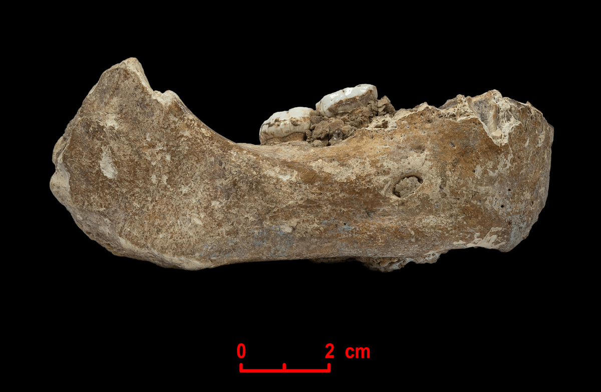 A jawbone found in China has now been identified as belonging to a Denisovan, an ancient human species related to Neanderthals