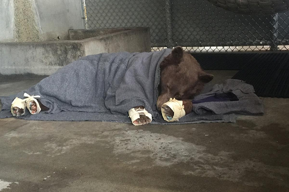 The younger bear rests in her holding enclosure after her fish skin treatment