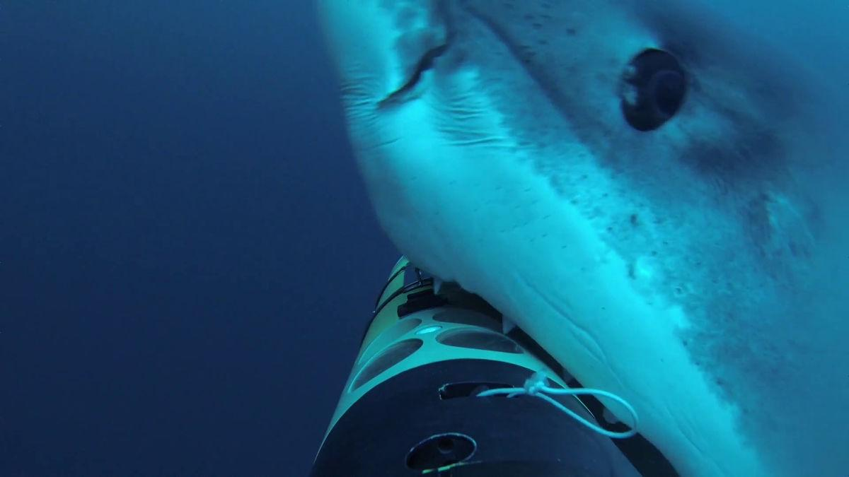 A great white takes a bite of the REMUS SharkCam during a recent mission