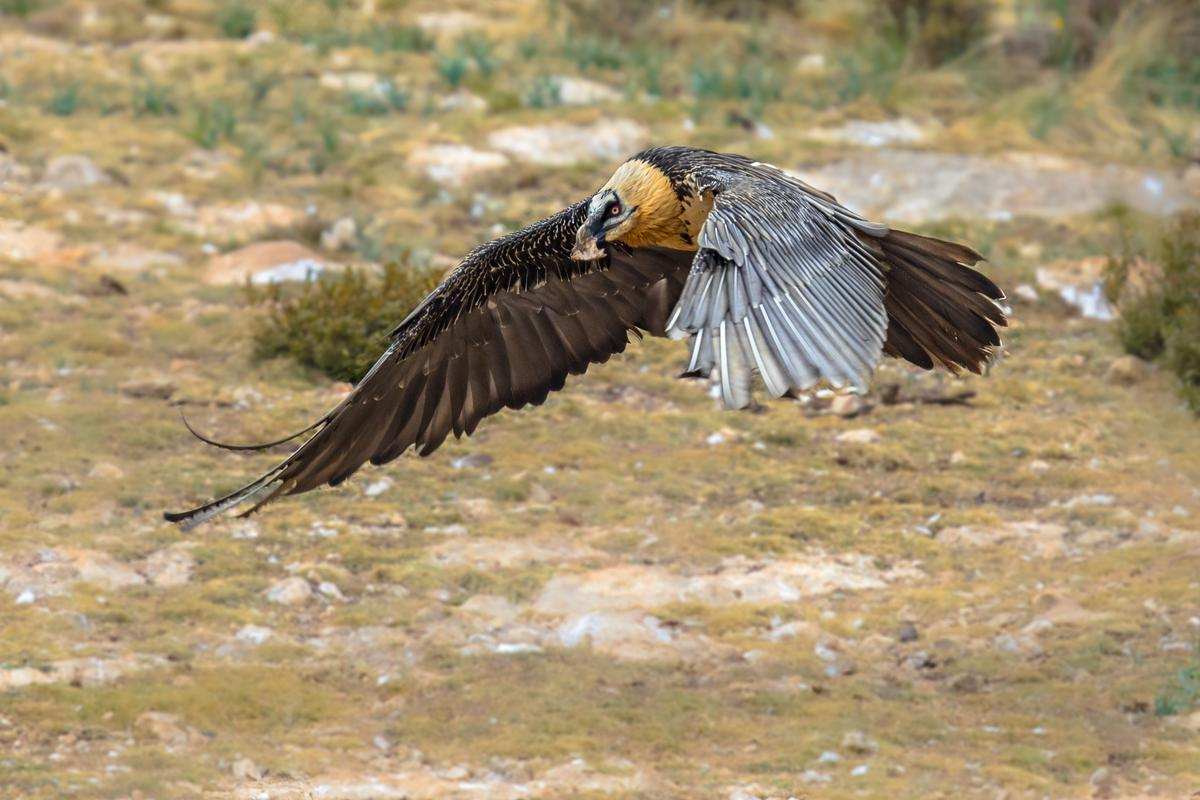 Stock photo of a bearded vulture, a large bird that weighs 4.5 to 7.8 kg (9.9 to 17.2 lb)