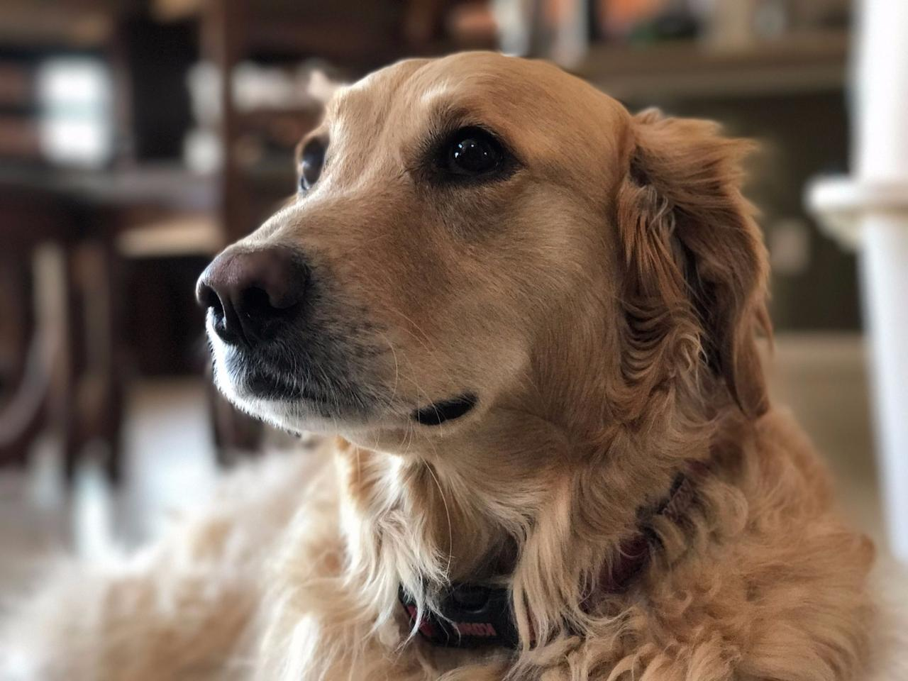The background bokeh (blur) in this Portrait mode-shot image ensures that the dog's face is the emphasis of the photo