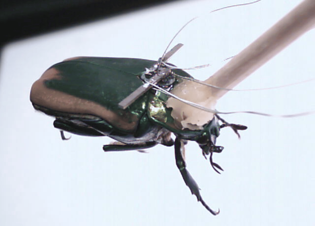 An insect fitted with a piezoelectric generator to harness energy from the insect's wings (Image: Erkan Aktakka)