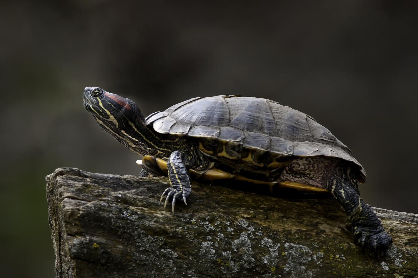 Researchers have been able to non-invasively control the walking paths of red-eared sliders (Photo: Shutterstock)