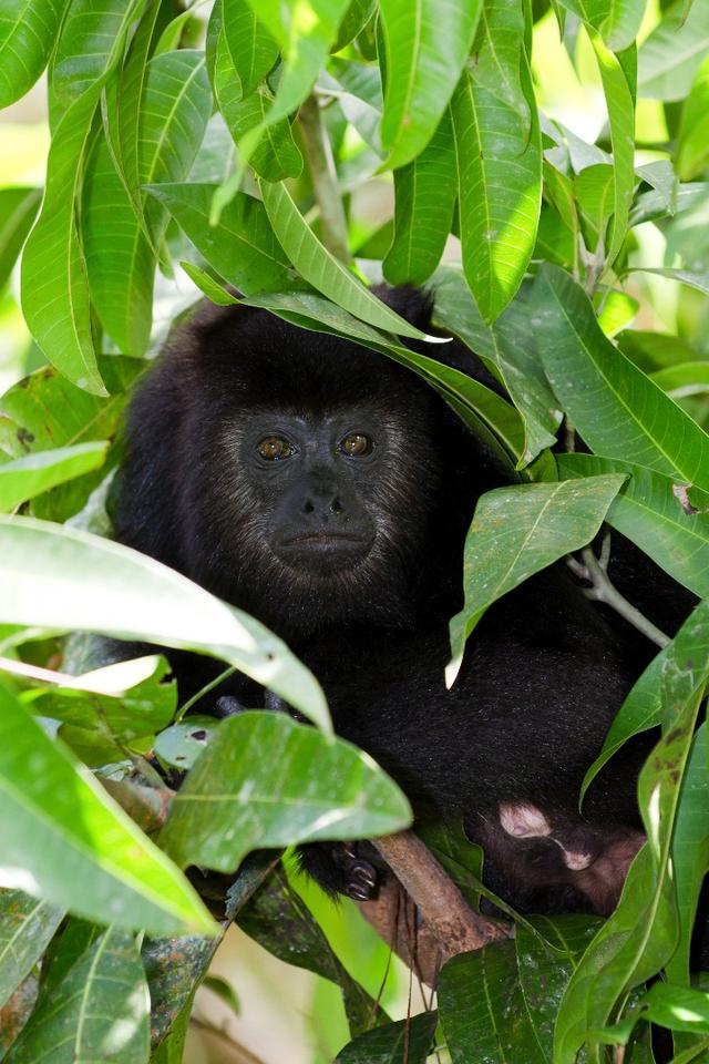 Howler monkey deaths, while tragic, can alert neighboring villages to impending outbreaks of yellow fever