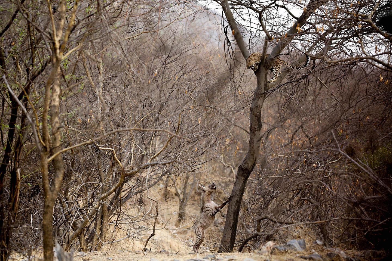 2nd Runner Up - Animal Behavior. Water Wars, Jhalana Forest, Jaipur