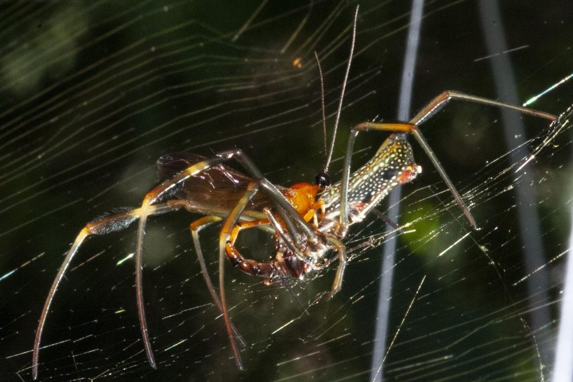 A parasitic wasp laying its eggs on the abdomen of a spider, in the first step of an insect horror story