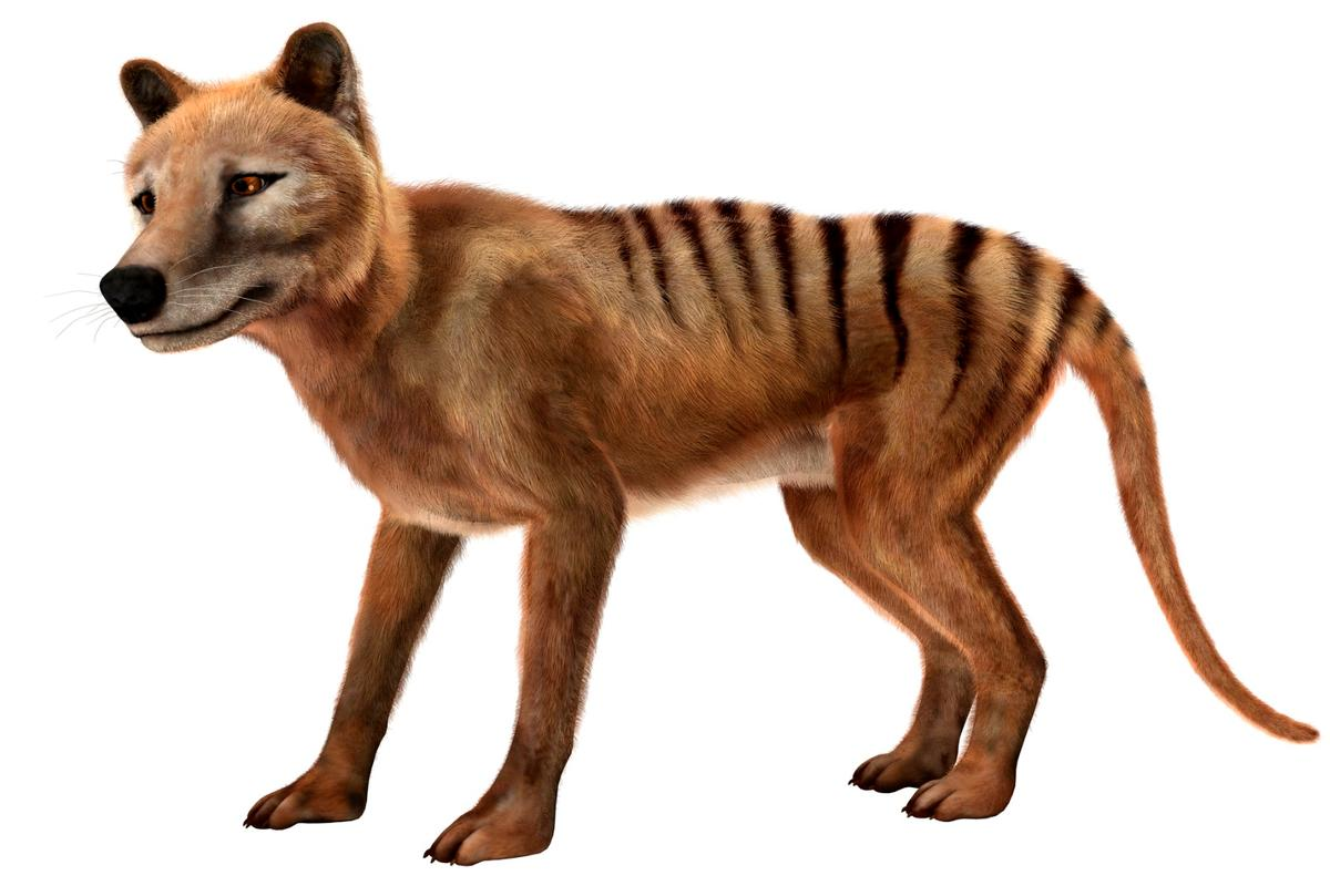"A ""new"" video of the extinct Tasmanian tiger, or thylacine, has been discovered in a film archive"