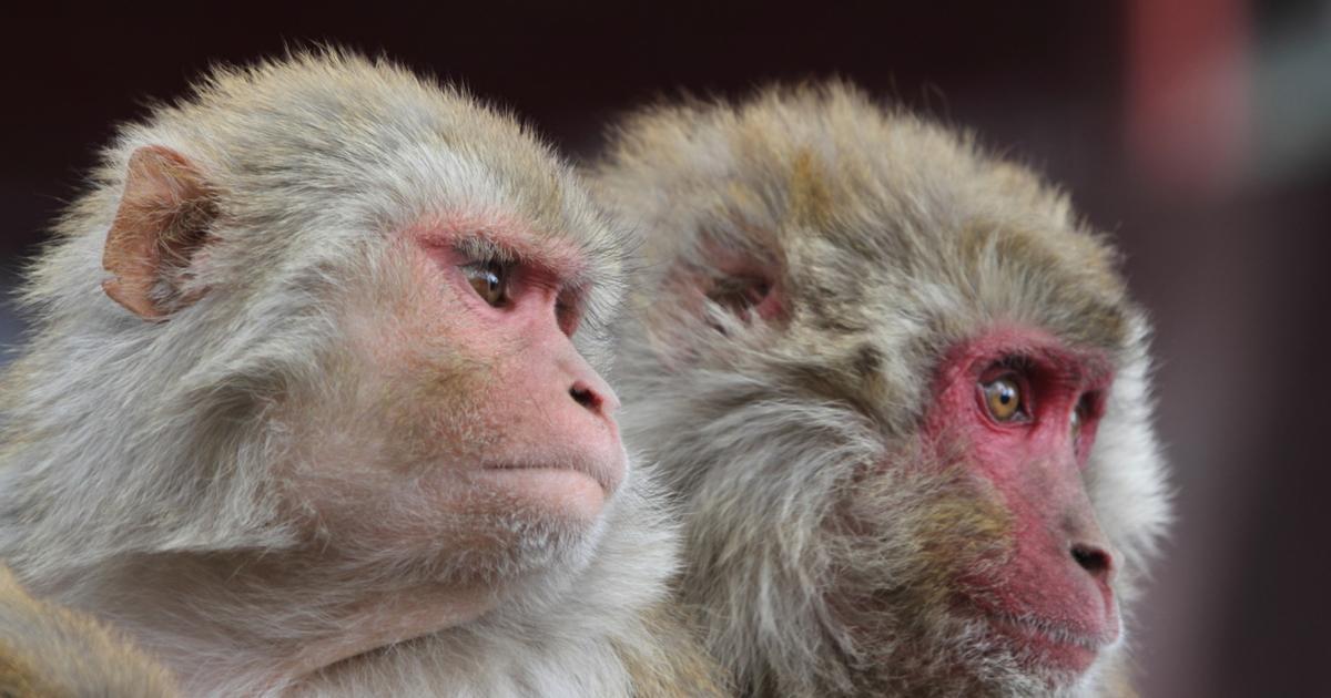 Scientists change monkey minds using low-intensity ultrasound