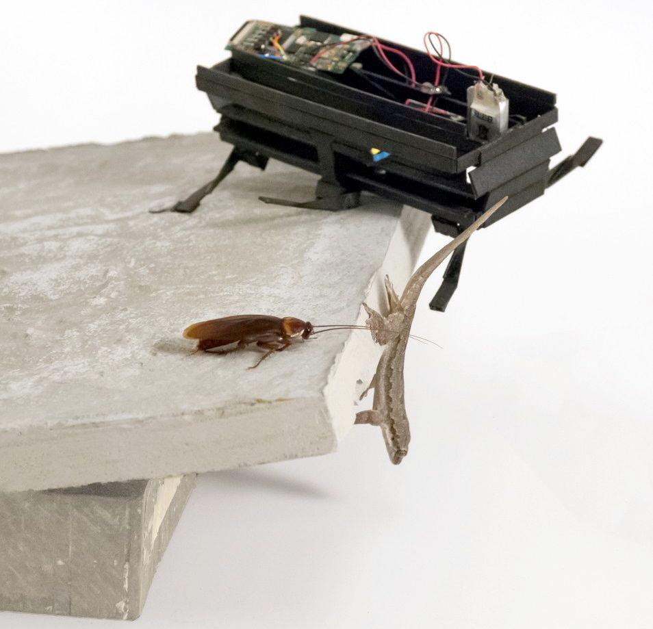 Scientists from the University of California, Berkeley have adapted a small six-legged robot to perform an evasive maneuver used by cockroaches and geckos