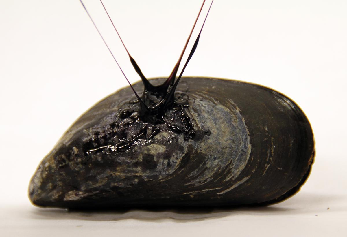 A mussel, with fibers of the synthetic adhesive gel attached to it (Photo: Tara Fadenrecht, Niels Holten-Andersen)