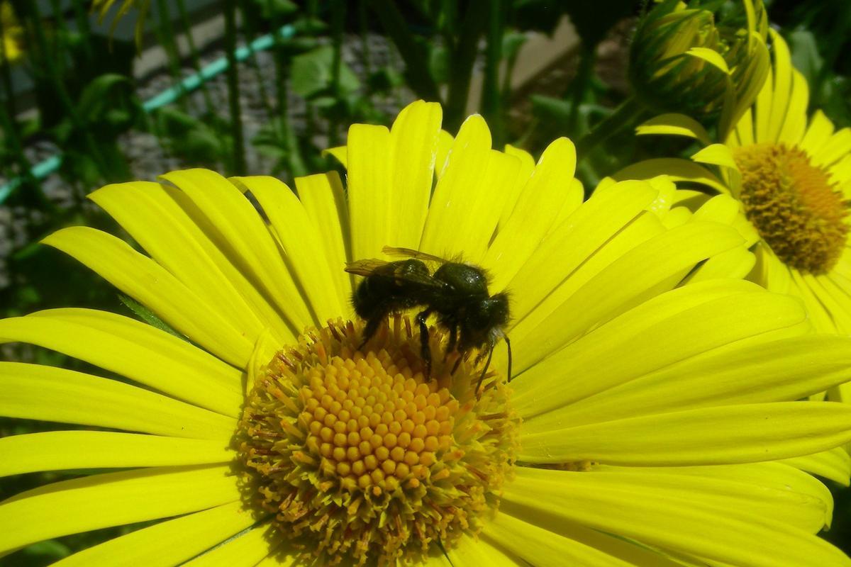 A mason bee hard at work