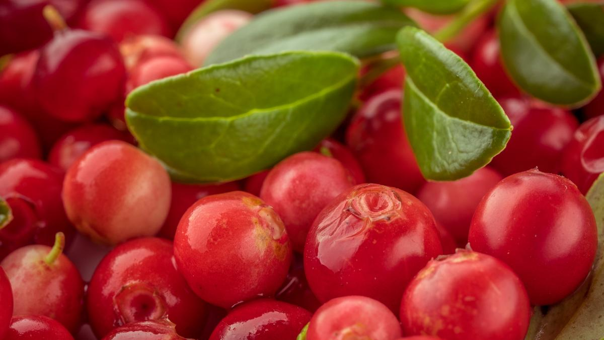 Drinking lingonberry juice may help lower high blood pressure