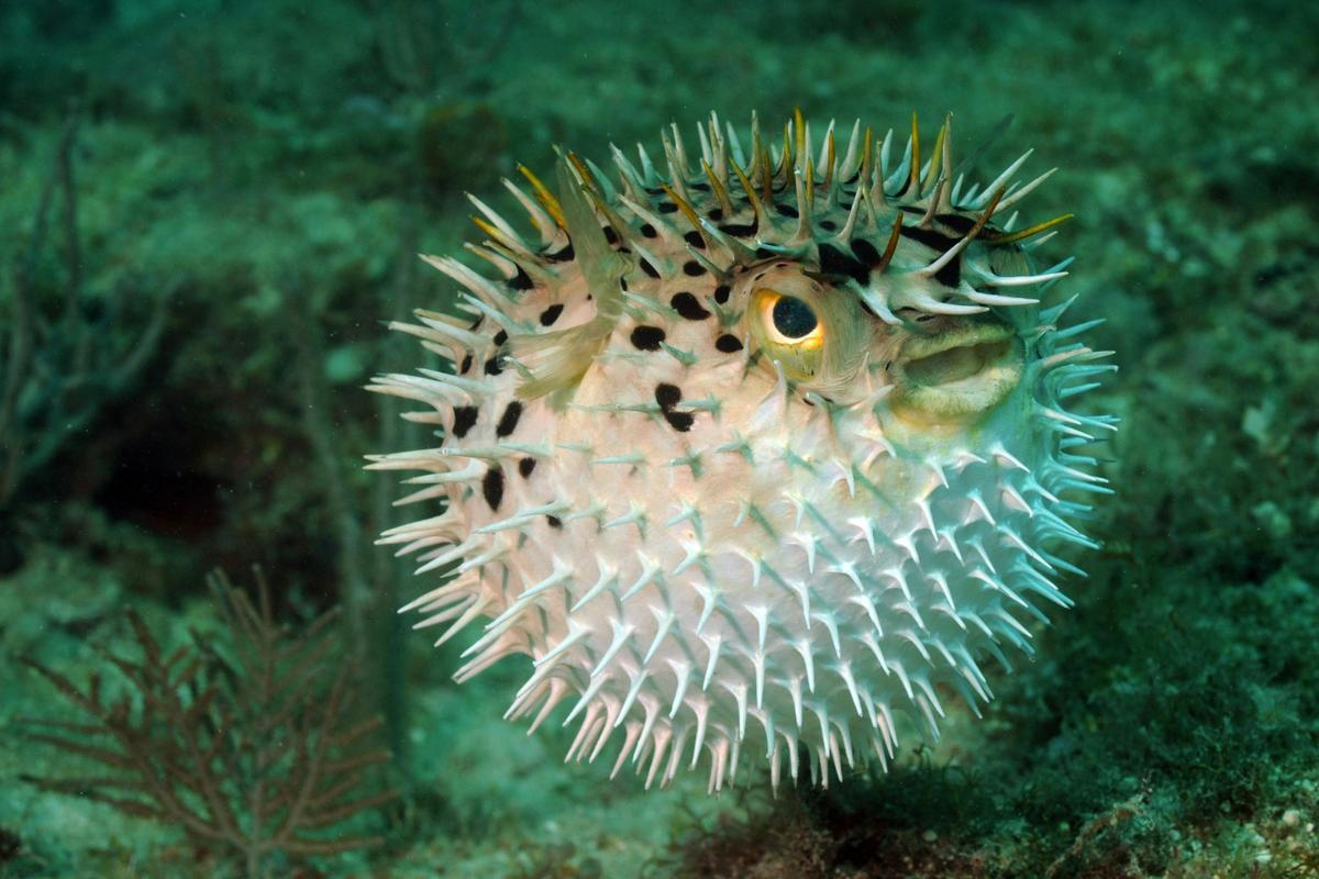 A new slow release local anesthetic based on pufferfish toxin can potentially numb targeted areas for up to three days