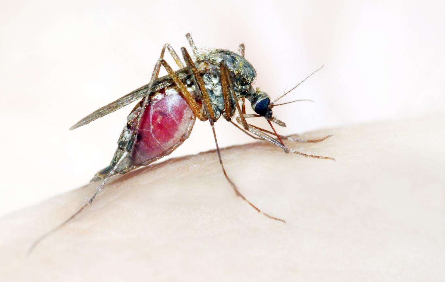 An Anopheles mosquito, which is known to spread malaria