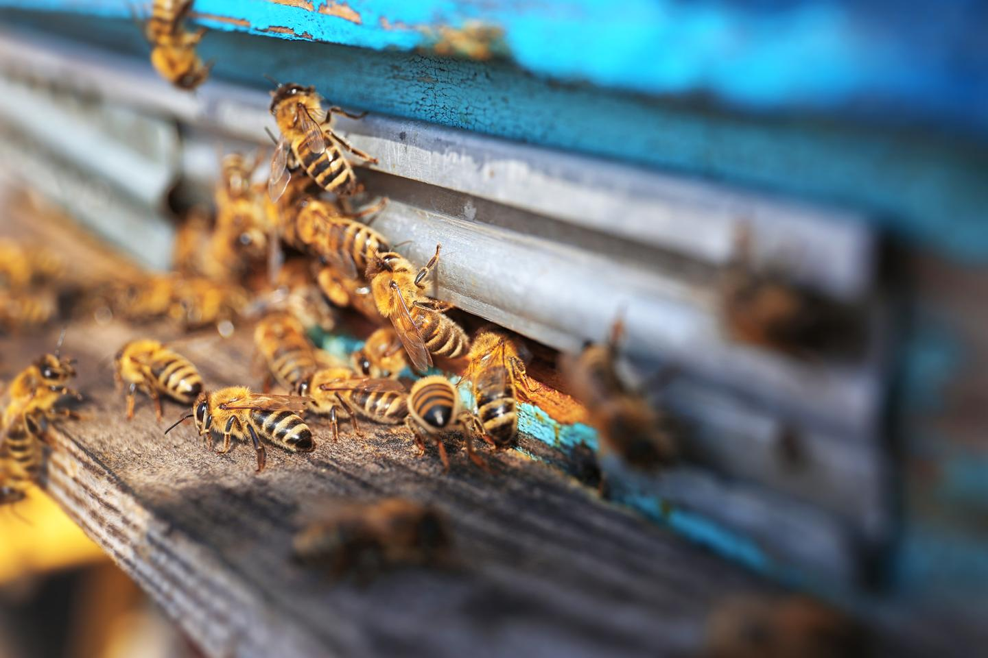 If high levels of pyrethroids are detected in a beehive's honey, authorities can check to see if farmers in the area are using excessive amounts of the pesticides on their crops