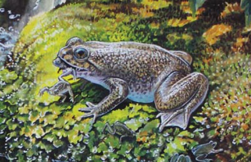An artist's impression of the gastric-brooding frog that was cloned by scientists working on the Lazarus Project (Artwork: Peter Schouten)