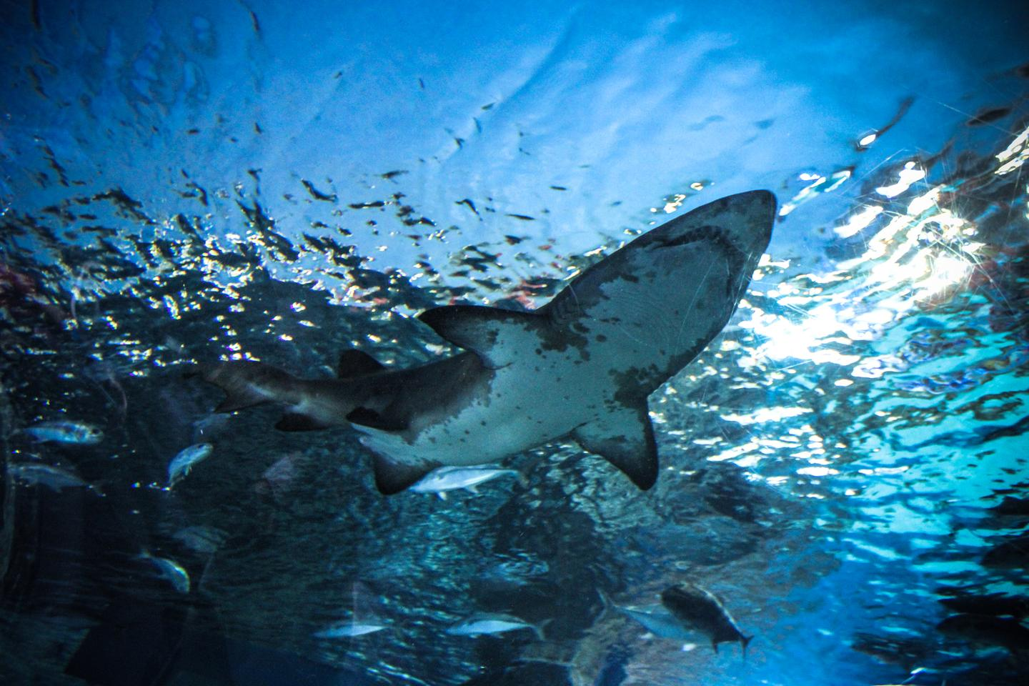 Shark and ray populations are declining at a rapid rate, a new study has found