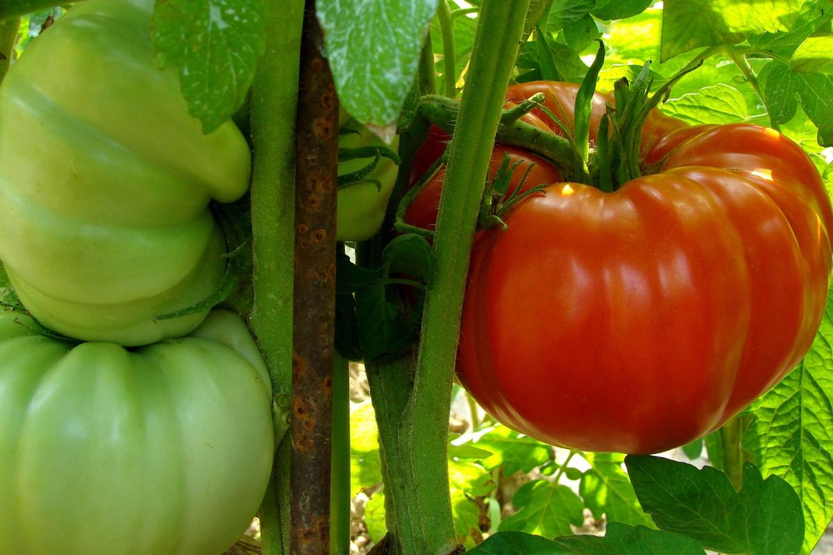 An aerosol application of nanonutrients has significantly boosted the growth and antioxidant level of tomato plants