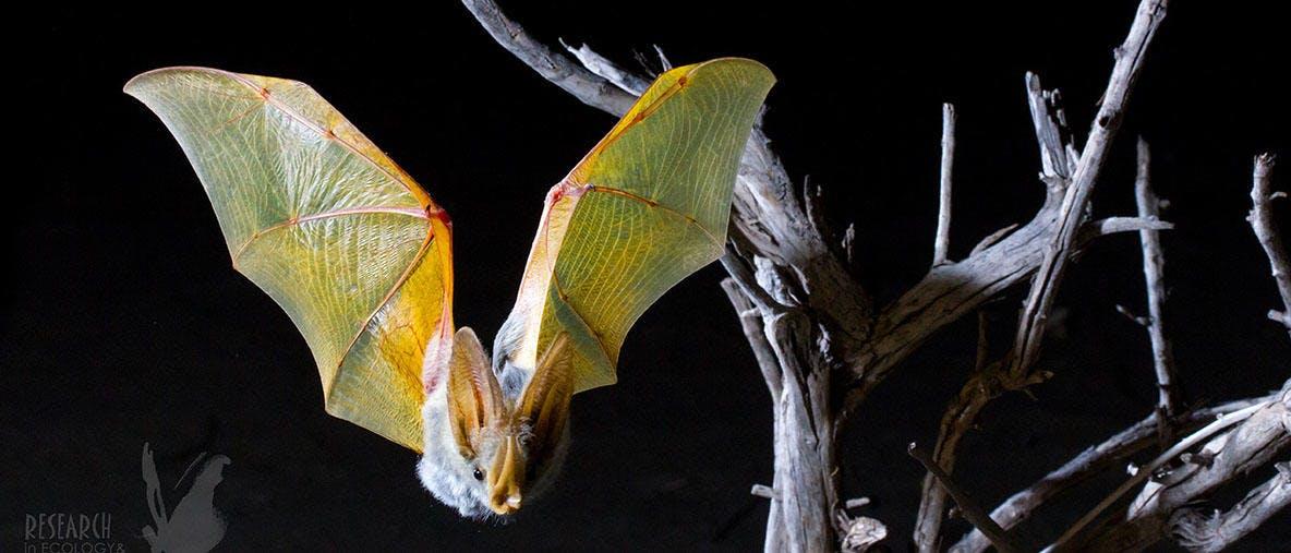 Tiny GPS backpacks shed light on nightlife of desert bats