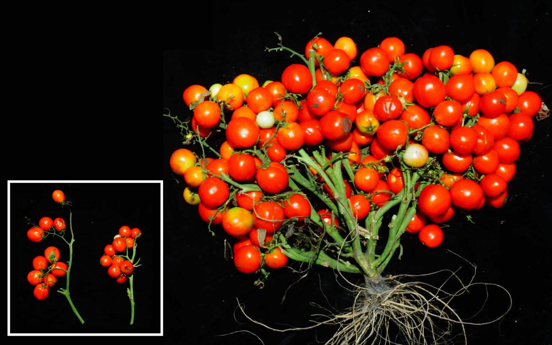 Genetically engineered tomato shrub could be a boon for urban farming