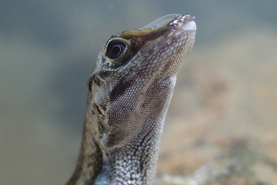 An anole lizard –still sporting its bubble after coming out of the water