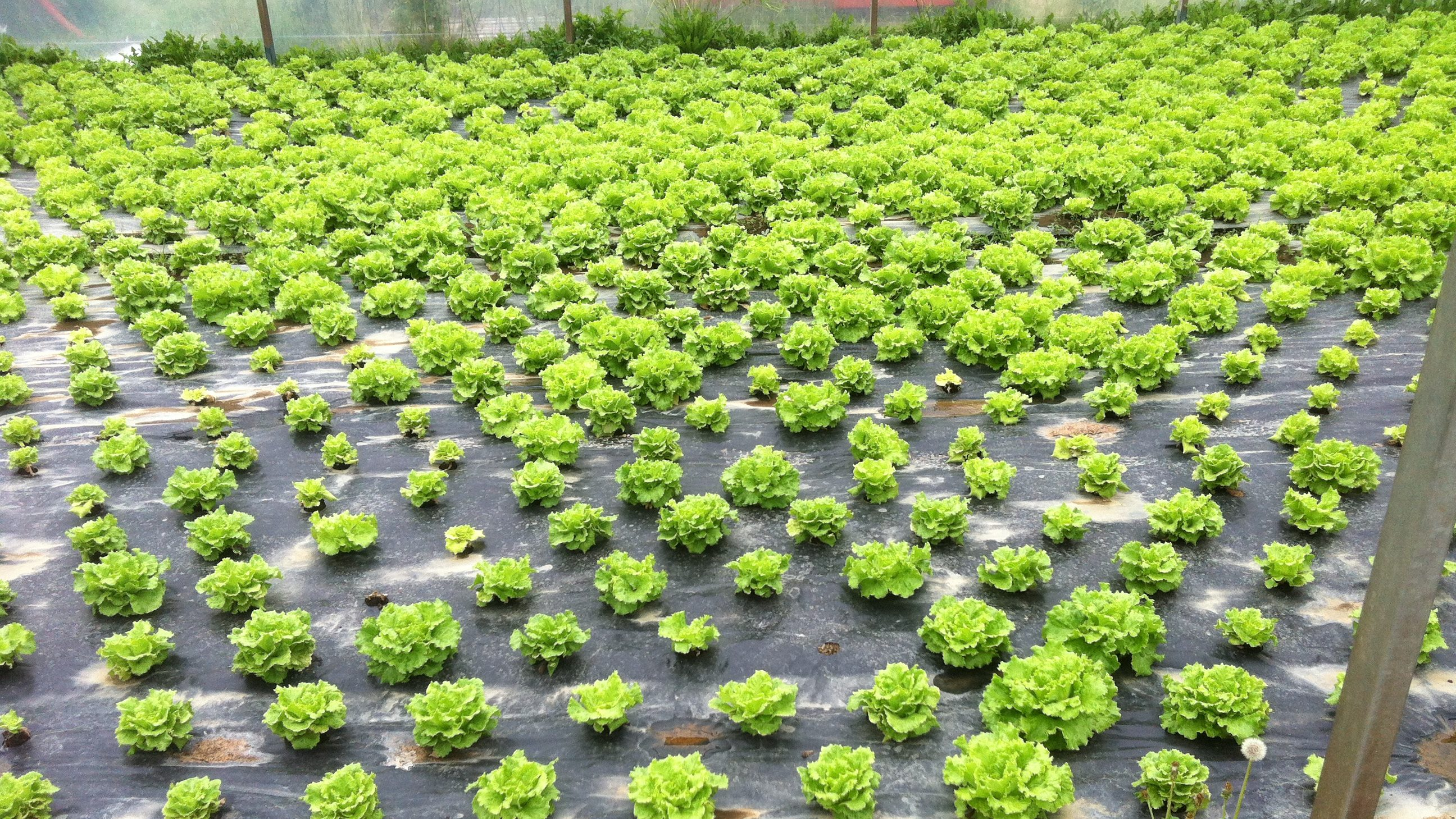 A lettuce crop, pictured after